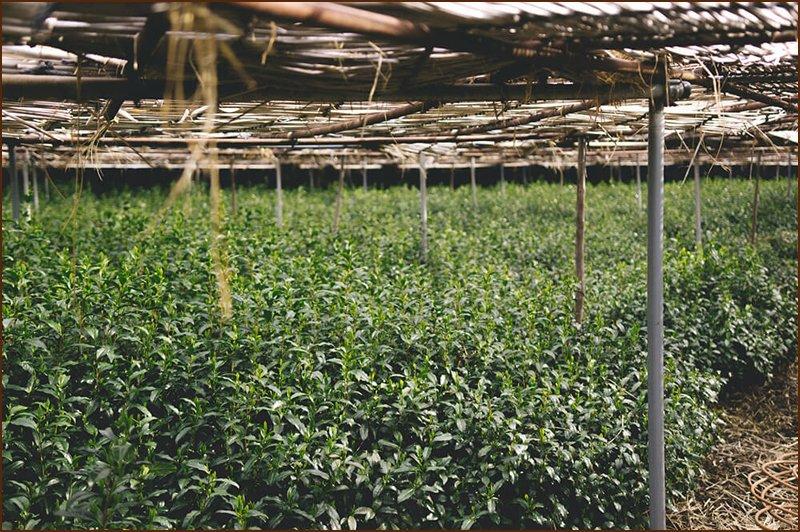 biologische-duurzame-matcha-plantage